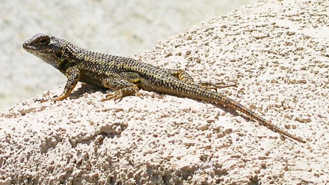 The San Elijo Lizard